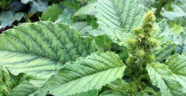 Bledo (Amaranthus blitum)