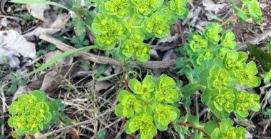 Lechetrezna (Euphorbia helioscopia)