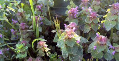 Ortiga roja (Lamium purpureum)